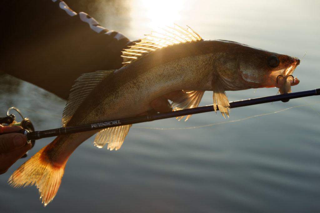 Shimano Technium Sandacz ryba wędkarstwo